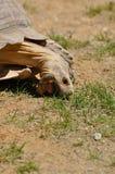 Tartaruga que come a grama Fotografia de Stock Royalty Free