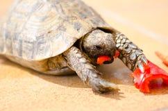 Tartaruga que come a pimenta vermelha fotos de stock
