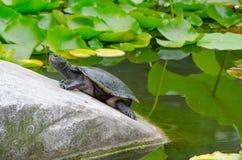 Tartaruga que descansa na pedra em uma lagoa de lótus imagens de stock royalty free