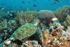 Tartaruga que descansa no recife Fotografia de Stock Royalty Free