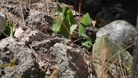 Tartaruga que encontra-se nas pedras e na grama video estoque