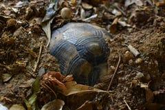 Tartaruga que hiberna o inverno frio Imagem de Stock Royalty Free