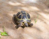 Tartaruga que rasteja na areia fora no selvagem Fotografia de Stock