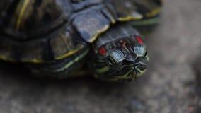 Tartaruga que rasteja na estrada em um dia ensolarado, fim acima filme