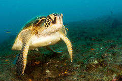 Tartaruga que vem a você debaixo d'água no pulmo México Califórnia do cabo imagem de stock royalty free