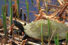 Tartaruga in Reed Immagini Stock