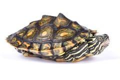 Tartaruga rodeado do mapa, oculifera de Graptemys Fotografia de Stock