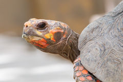 Tartaruga rossa capa del piede della ciliegia Immagine Stock