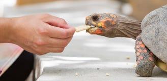 Tartaruga rossa capa del piede della ciliegia Fotografia Stock Libera da Diritti