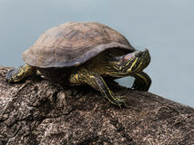 tartaruga Rosso-eared del cursore Immagini Stock