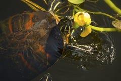 tartaruga Rosso-gonfiata del cooter nel parco nazionale dei terreni paludosi del ` s di Florida Fotografia Stock