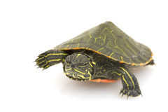 Tartaruga Rosso-gonfiata nordica fotografie stock