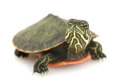 Tartaruga Rosso-gonfiata nordica immagine stock