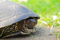 Tartaruga selvagem Fotos de Stock