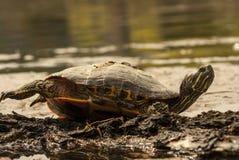 Tartaruga selvaggia Fotografie Stock Libere da Diritti