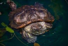 A tartaruga senta-se na água em casa Imagens de Stock