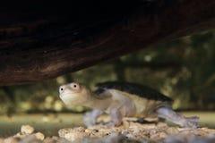 Tartaruga serpente-con il collo di Siebenrock Fotografie Stock Libere da Diritti
