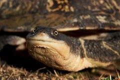 Tartaruga Serpente-con il collo orientale, longicollis di Chelodina Fotografie Stock Libere da Diritti