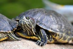 Tartaruga - slider Vermelho-orelhudo Foto de Stock Royalty Free