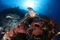 Tartaruga sob o mar Fotografia de Stock
