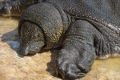 Tartaruga Soft-shelled del Nilo (triunguis del Trionyx) Immagini Stock