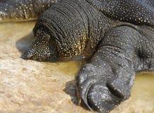 Tartaruga Soft-shelled del Nilo (triunguis del Trionyx) Fotografia Stock