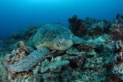 Tartaruga sonolento Fotos de Stock