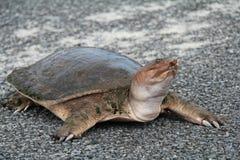 Tartaruga Spiny de Softshell que cruza uma estrada imagem de stock royalty free