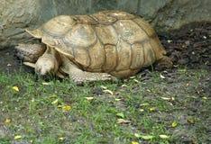 Tartaruga Spurred africana Fotografia de Stock