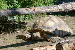 Tartaruga Spurred africana de Centrochelys Sulcata imagem de stock royalty free