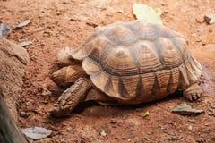 A tartaruga spurred africana do sulcata da tartaruga habita a borda do sul do deserto de Sahara, em África Como um animal de esti fotografia de stock