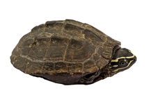 Tartaruga su fondo bianco Fotografie Stock