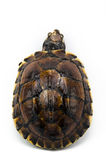 Tartaruga su fondo bianco Fotografia Stock