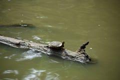 Tartaruga su un ceppo Fotografia Stock Libera da Diritti