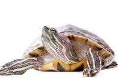 Tartaruga su una priorità bassa bianca Fotografia Stock Libera da Diritti