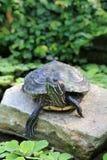 Tartaruga su una roccia Immagine Stock