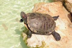 Tartaruga su una roccia Fotografia Stock Libera da Diritti