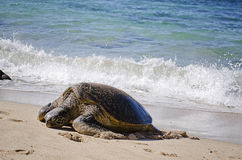 Tartaruga su una spiaggia Fotografie Stock Libere da Diritti