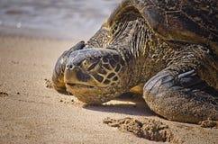 Tartaruga su una spiaggia Immagini Stock Libere da Diritti