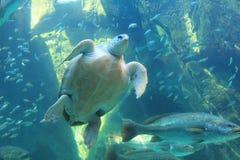Tartaruga subacquea Immagini Stock