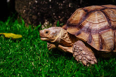 Tartaruga sul prato verde Immagine Stock