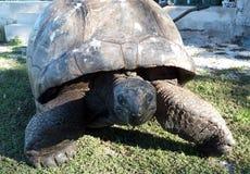 Tartaruga sul vagare in cerca di preda Fotografia Stock Libera da Diritti