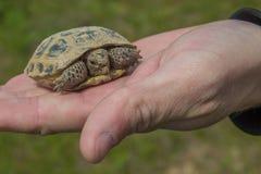 Tartaruga sulla palma Poca tartaruga della steppa in primavera, Almaty, Ka Immagini Stock