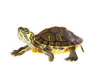 Tartaruga sulla parata immagine stock