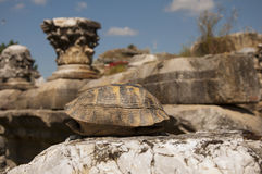Tartaruga sulla pietra nell'annuncio Maeandrum, Turchia della magnesia della città antica Immagine Stock Libera da Diritti