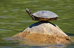 Tartaruga sulla roccia Fotografia Stock Libera da Diritti