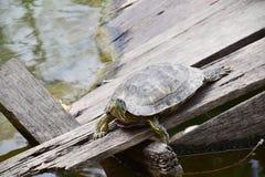 Tartaruga sulla roccia fotografie stock