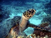 Tartaruga sulla scogliera Fotografie Stock