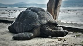 Tartaruga sulle Seychelles Immagini Stock