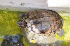 Tartaruga sveglia nell'azienda agricola del paese Fotografia Stock